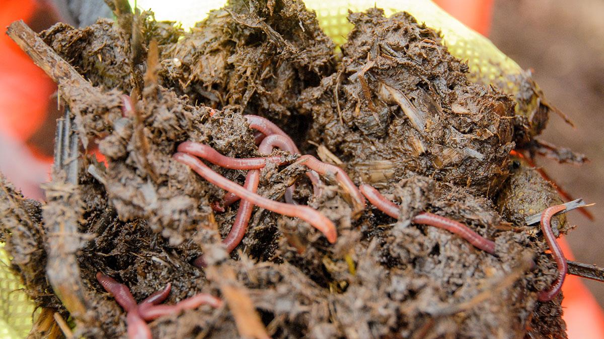 Regenwürmer im Humus